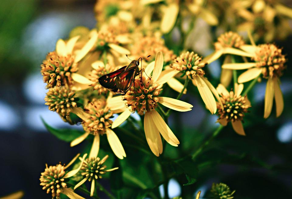 Butterfly, Insect, Bug, Wings, Flowers, Petals, Nature