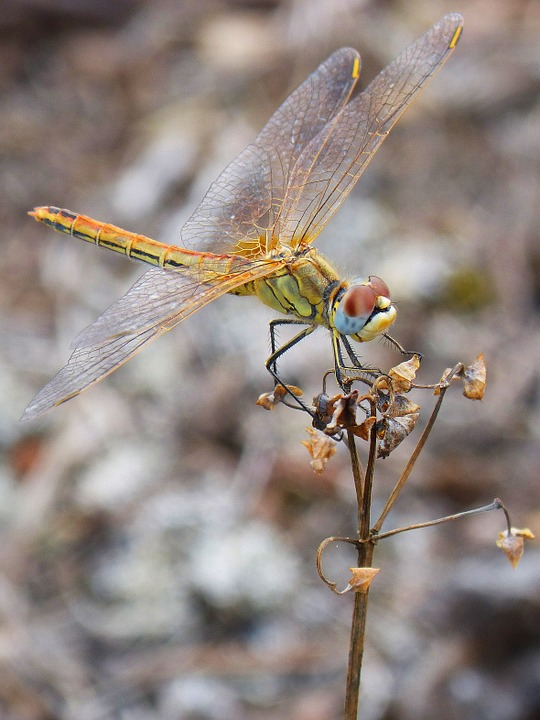 Dragonfly, Yellow, Branch, Insect, Libelulido, Wings