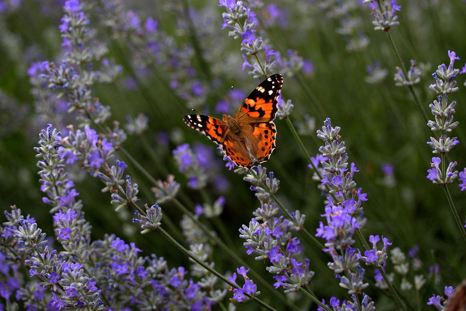 Lavender, Butterflies, Blue, Coloring, Wings, Flight