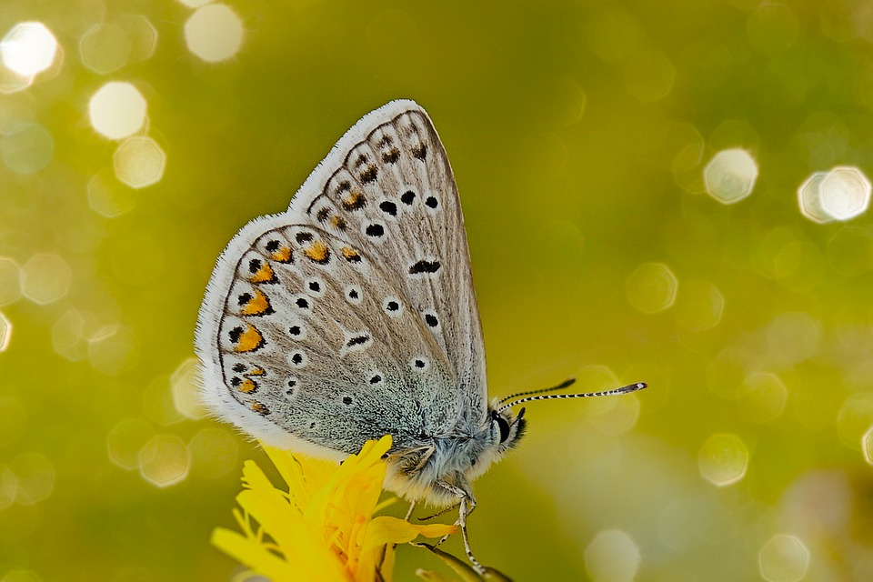 Common Blue, Butterfly, Flower, Insect, Animal, Wings