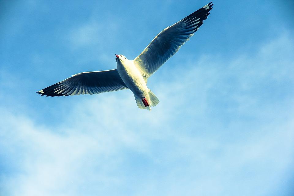 Seagull, Wings, Flight, Flying, Fly, Gull, Bird