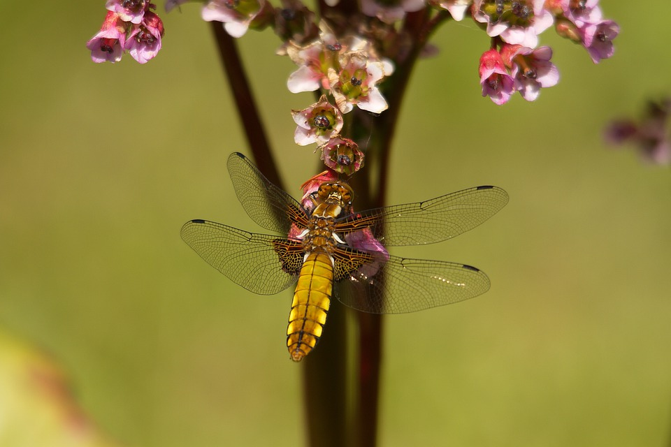 Dragonfly, Wings, Golden, Insect, Wing, Wildlife, Bug