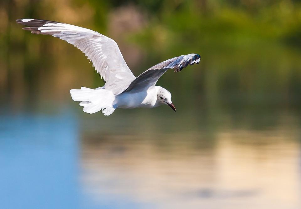 Hartlaub Gull In Flight, Golden Light, Wings, Wingspan