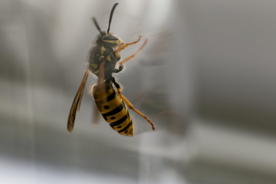 Wasp, Hornet, Insect, Bug, Wings, Glass, Window