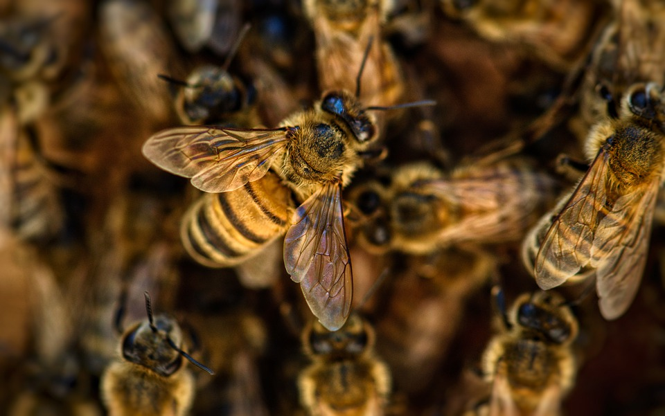 Free photo Wings Insects Nature Pollination Honey Bees - Max Pixel