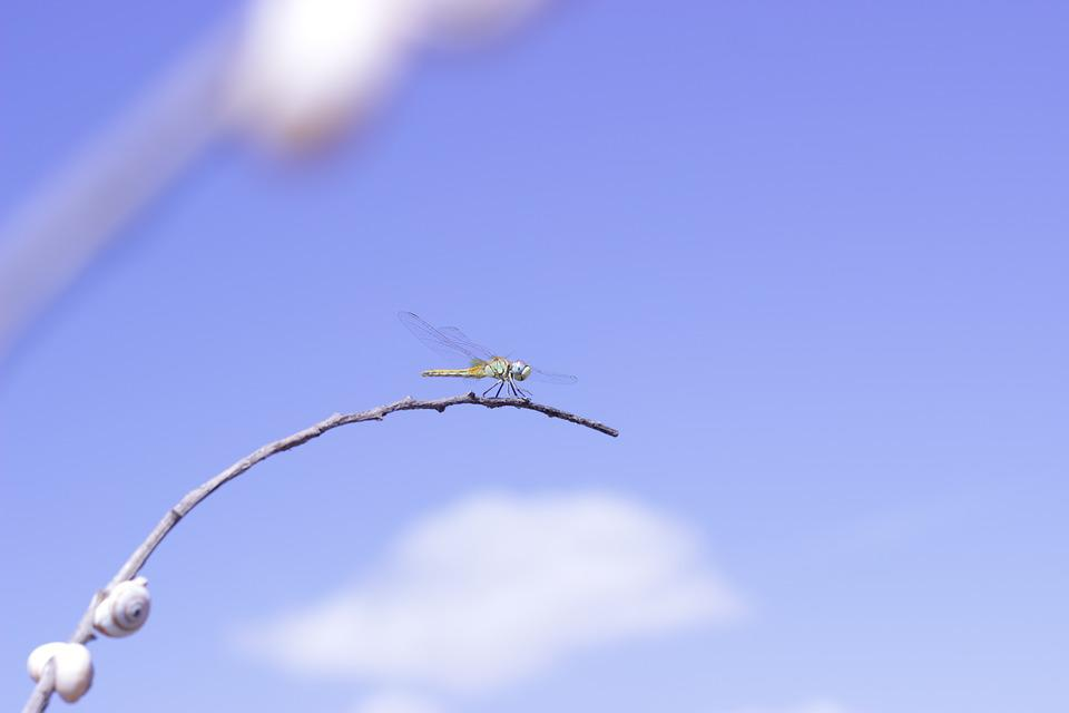 Dragonfly, Nature, Insects, Animals, Wings, Leaf