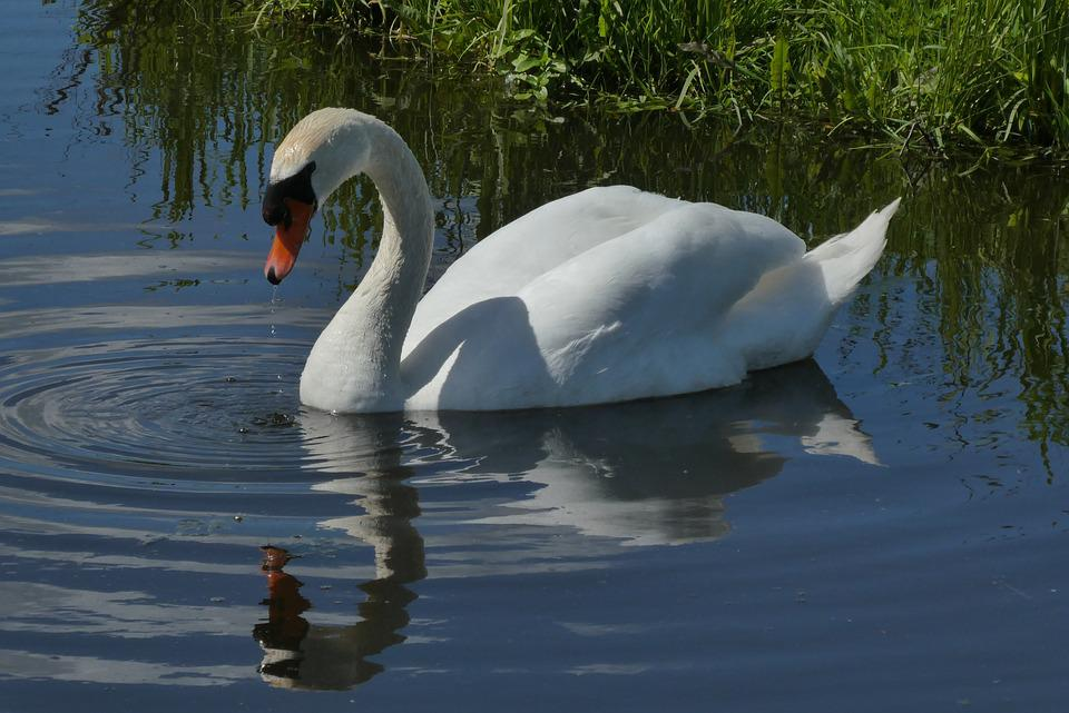 Swan, Reflection, Ditch, Nature, Birds, Swimming, Wings