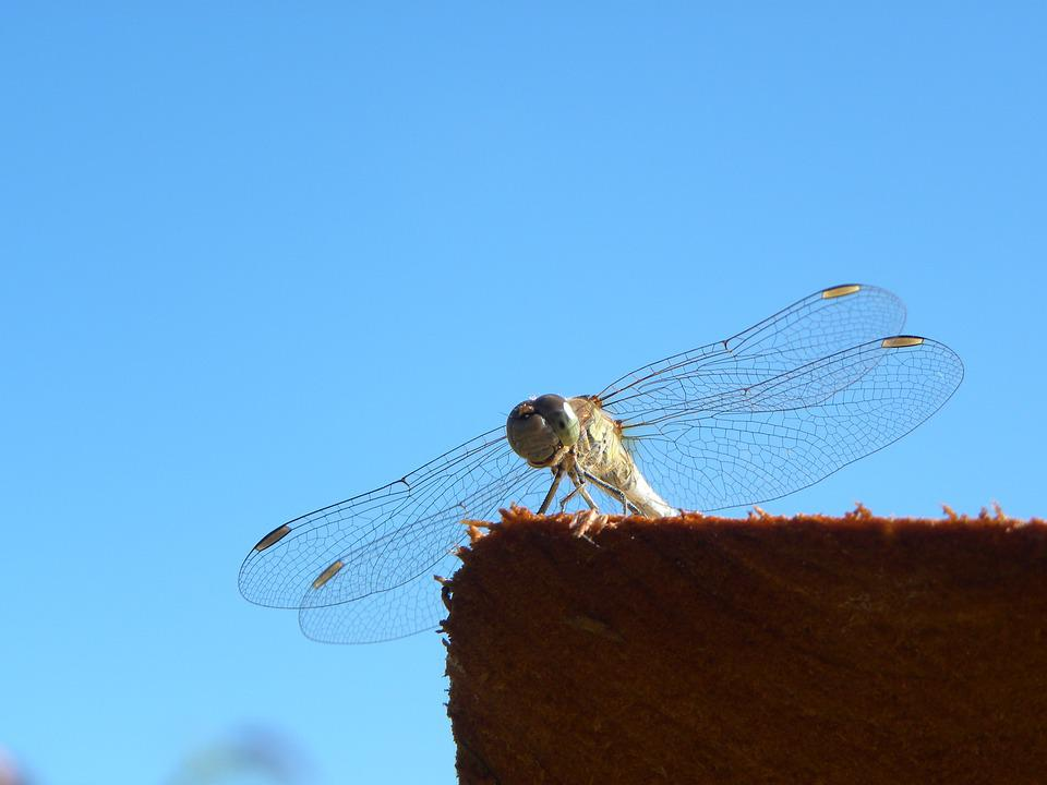 Dragonfly, Bug, Summer, Macro, Nature, Wings
