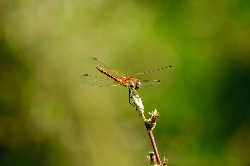 Dragonfly, Fly, Insect, Nature, Wings, Flying, Animal