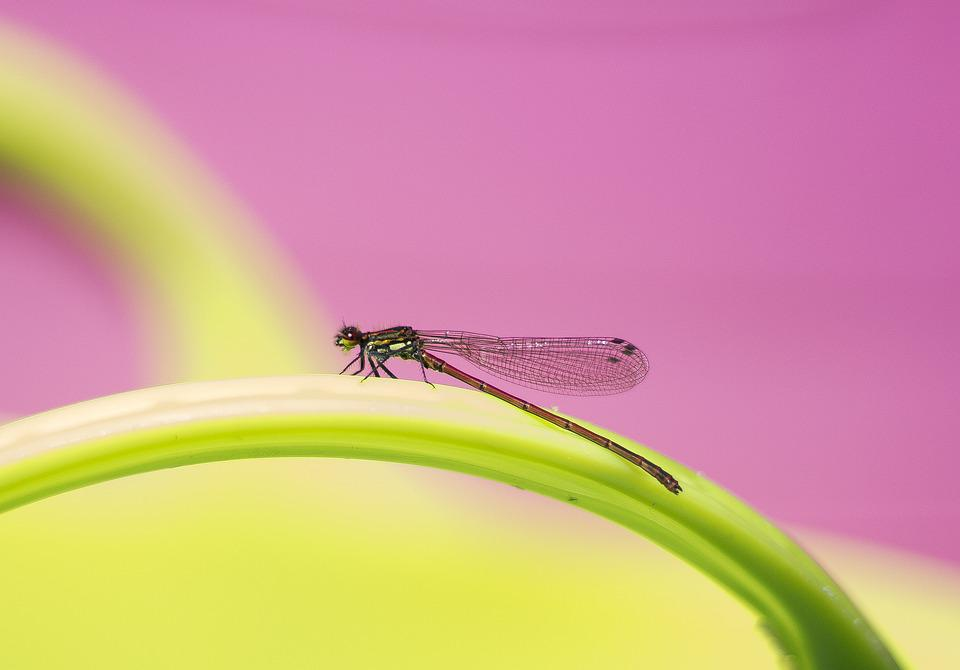 Dragonfly, Damselfly, Nature, Insect, Wings, Bug