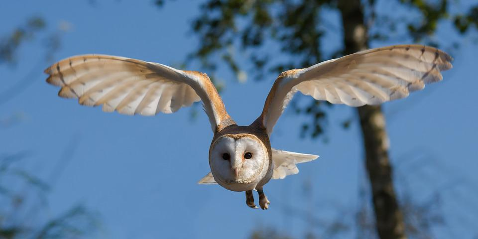 Barn Owl, Bird, Owl, Nature, Wildlife, Prey, Wings
