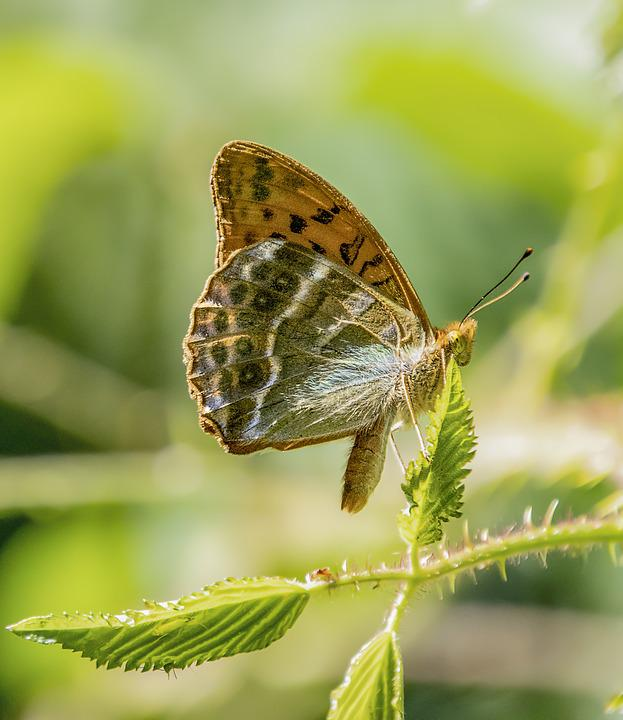 Butterfly, Silver-washed-fritillary, Wings, Pattern