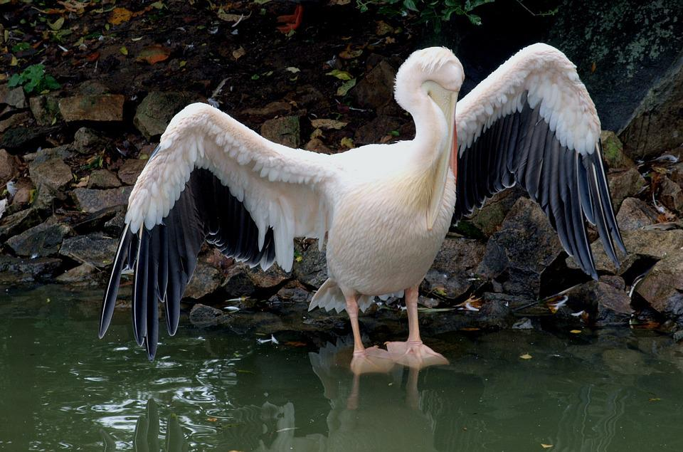 Pelican, Wet, Dried, Wings