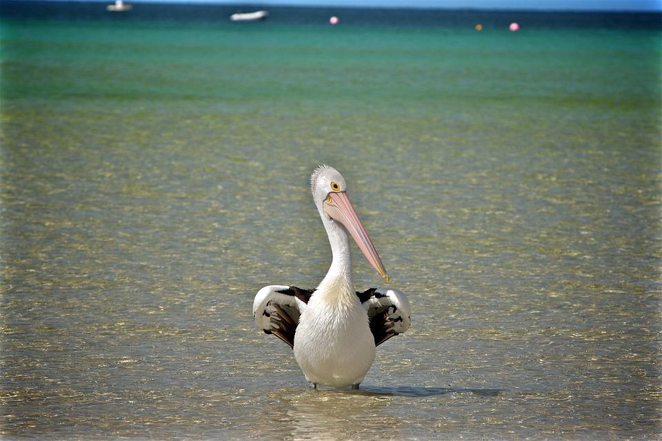 Bird, Pelican, Beak, Shore, Wings