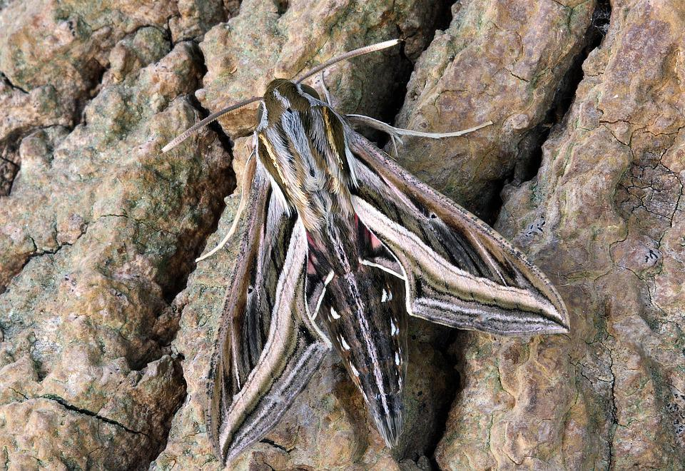 Silver-striped- Hawk-moth, Wings, Pattern, Nature