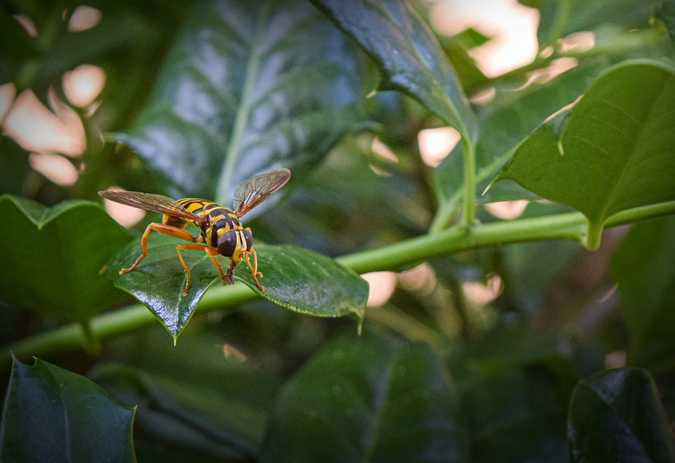 Hornet, Insect, Nature, Sting, Yellow, Wings, Summer
