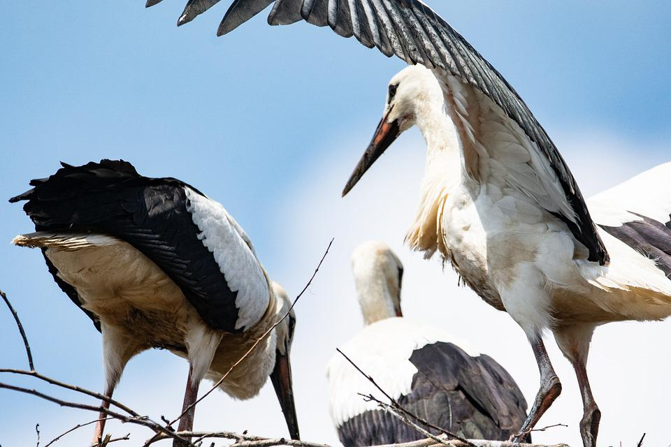 Stork, Socket, Bird, Wings, Spring, Nature, Young