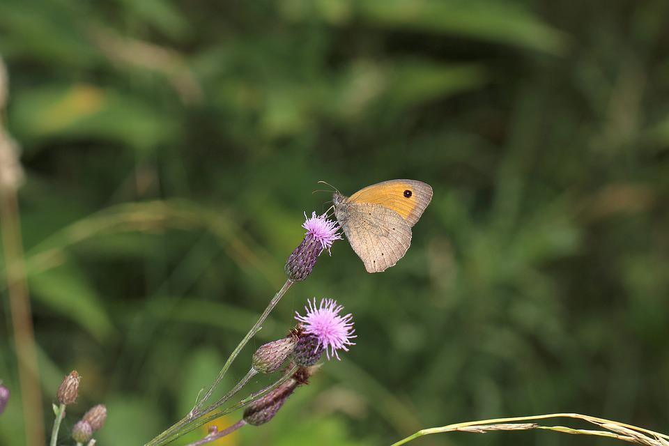Butterfly, Insect, Flower, Nature, Macro, Wings, Summer