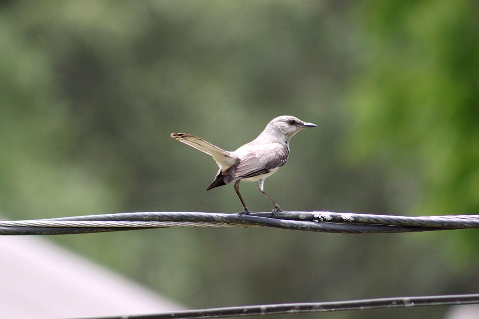 Bird, Gray, White, Wings, Wire, Sitting