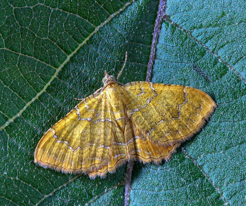 Moth, Yellow-shell, Insect, Wings, Summer, Nature