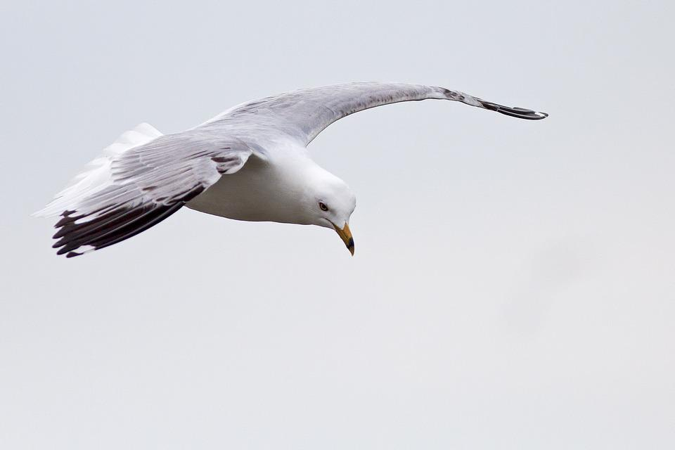 Bird, Nature, Wildlife, Seagulls, Flight, Fly, Wingspan