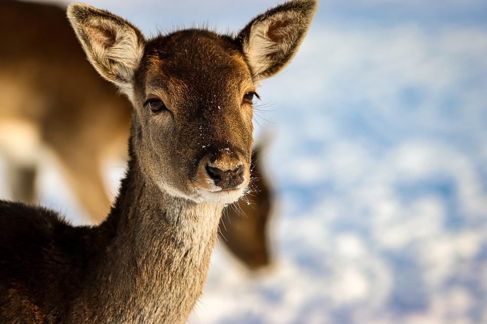 Deer, Animal, Winter, Head, Face, Snow, Mammal