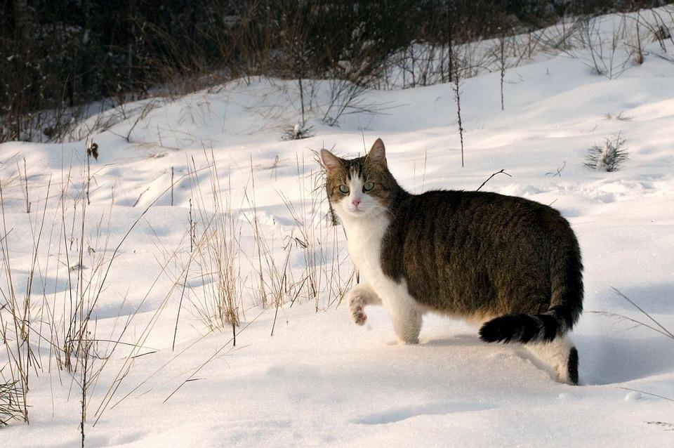 Cat, Mackerel, Snow, Winter, Animal, Domestic Cat