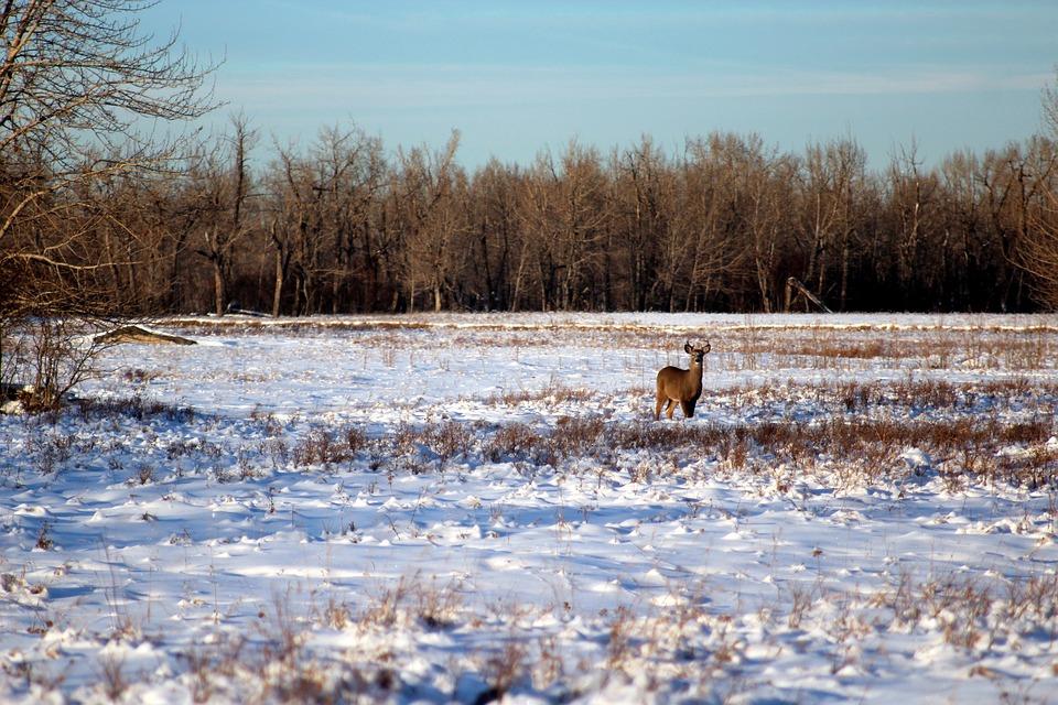 Winter, Deer, Wildlife, Landscape, White-tailed, Animal