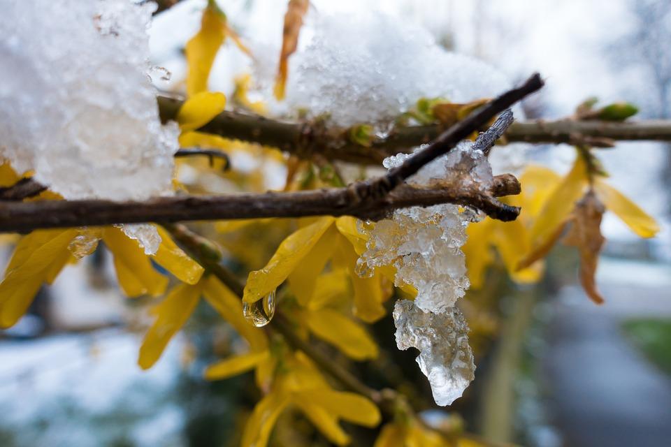 Winter Blast, Snow, Melt, Drip, Frost, Forsythia
