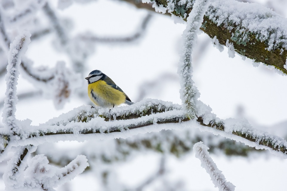 Bird, Blue Tit, Winter, Tree Branches, Frost, Frosty
