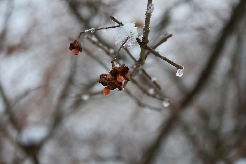 Frozen Fruit, Branch, Winter, European Euonymus