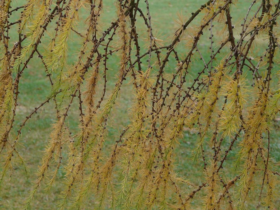 Branch, Winter, Japanese Larch, Larix Kaempferi, Larix