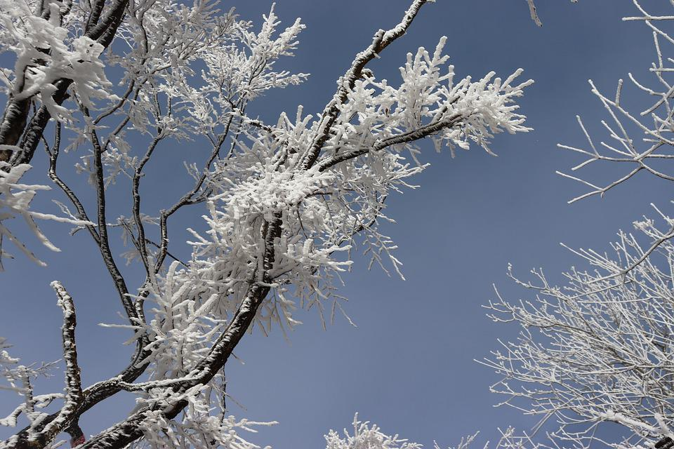Cedar, Branches, Snow, Winter, Frost, Leaves, Conifer