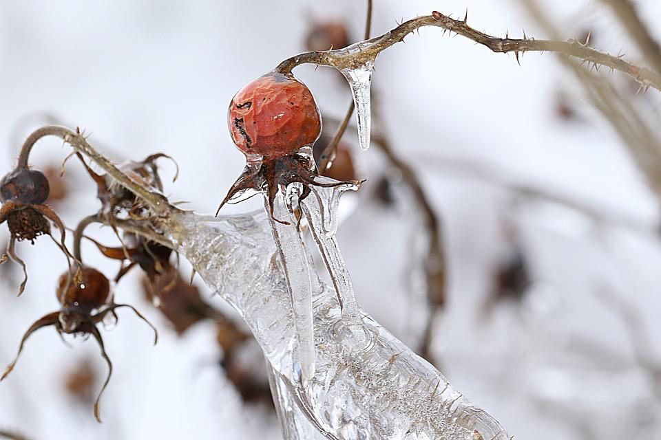 Rosehip, Nature, Closeup, Winter, Season