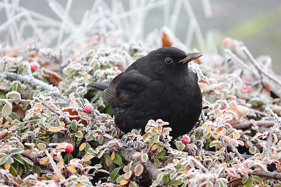 Blackbird, Bird, Winter, Hoarfrost, Cold Frozen