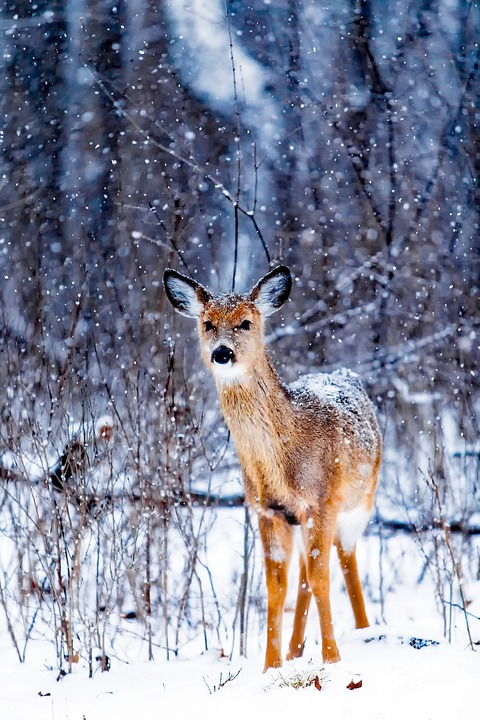 Winter, Snow, Deer, Animal, Wildlife, Landscape, Nature