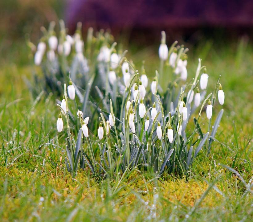 Crocus, Flowers, Winter, Spring, Nature, Season, Plant