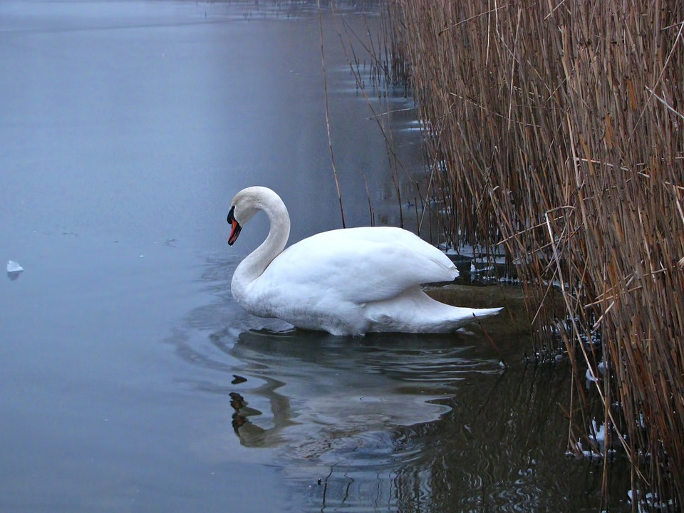 Swan, Pond, Reed, Wild Life, Winter, Ice, Icy, Fog