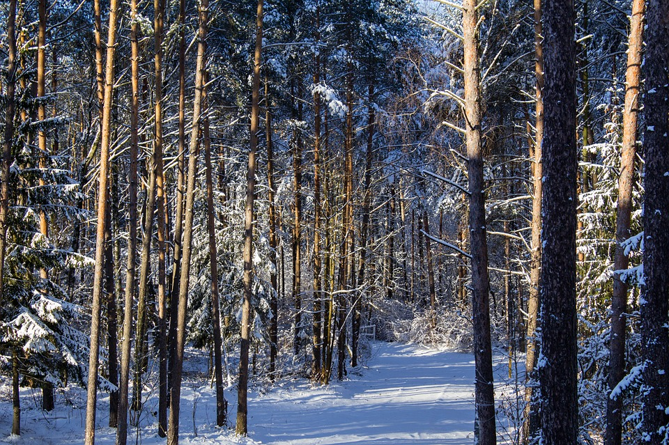 Forest, Snow, Winter, Trees, Nature, Winter Forest