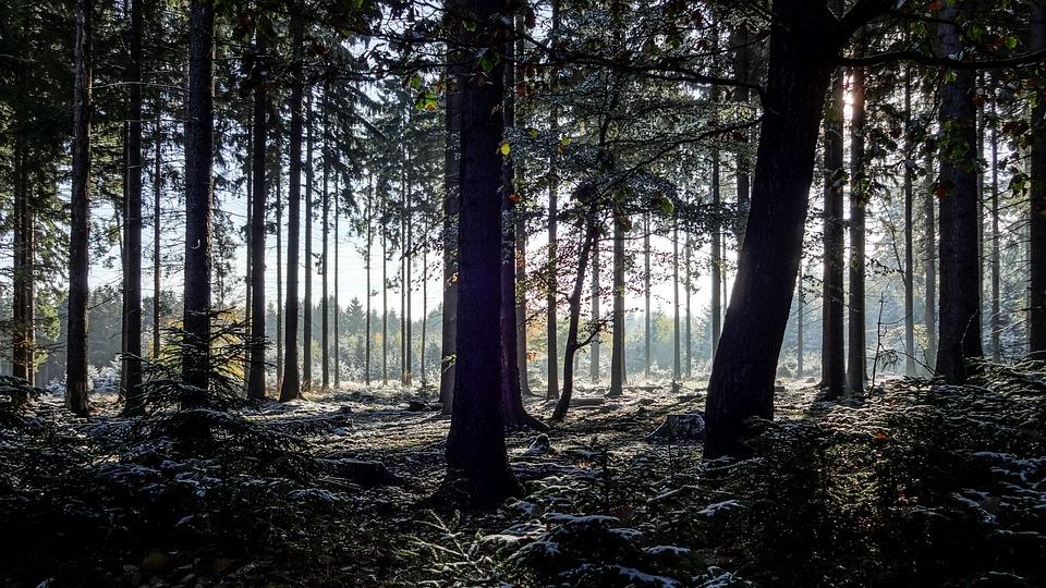 Winter Forest, Fir Forest, Hunsrück, Conifers