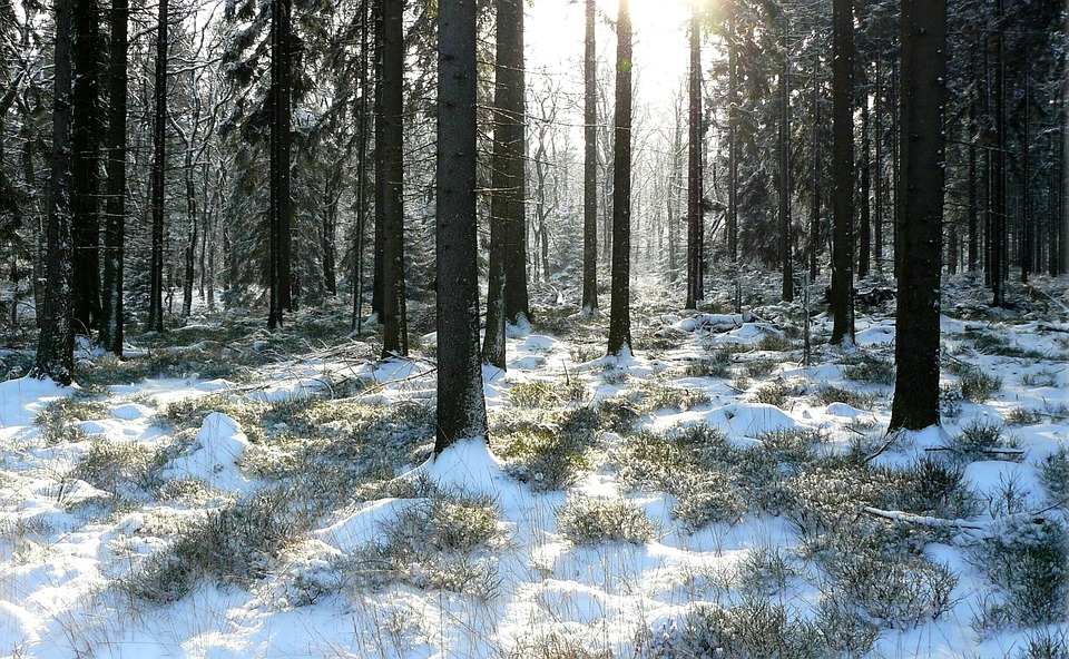 Winter Forest, Trees, Snowy, Winter, Snow, Wintry