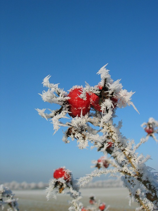 Rose Hip, Frost, Winter, Cold, Frozen, Blue Sky, Icy