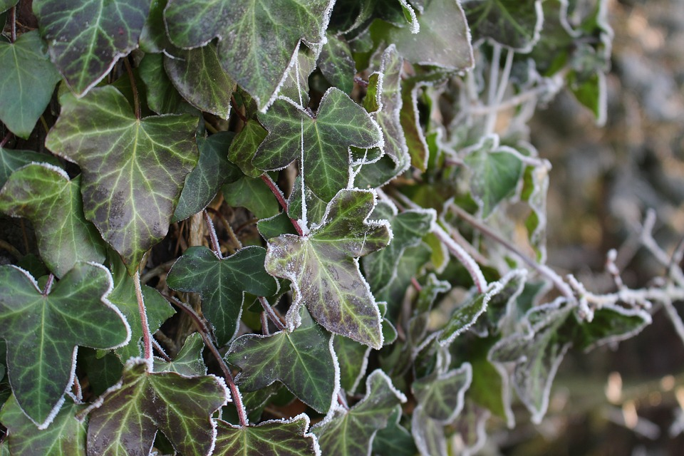 Frost, Ivy, Forest, Landscape, Trees, Cold, Winter, Icy