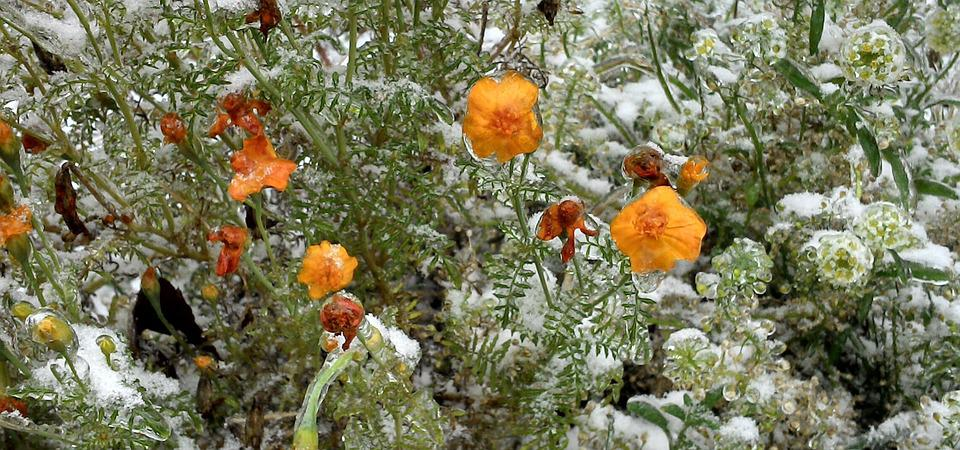 Flower, Frozen, Snow, Winter