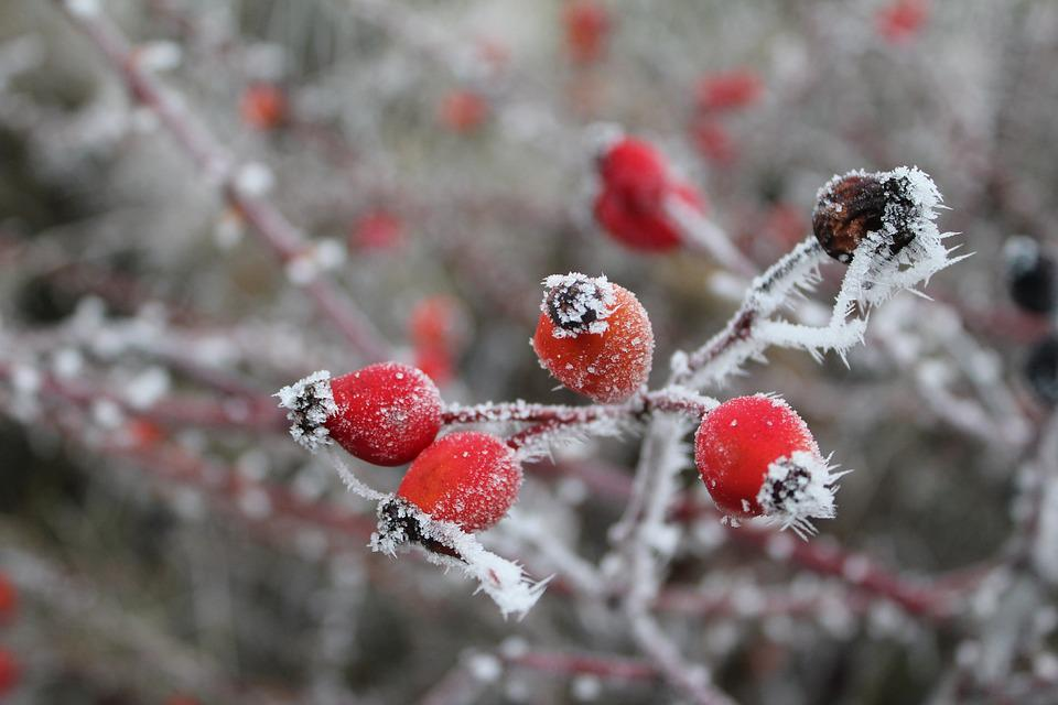 Rose Hip, Gefrohren, Winter, Frost, Eiskristalle