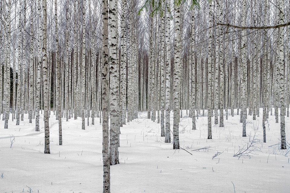 free photo winter landscape birch trees tree birch grove