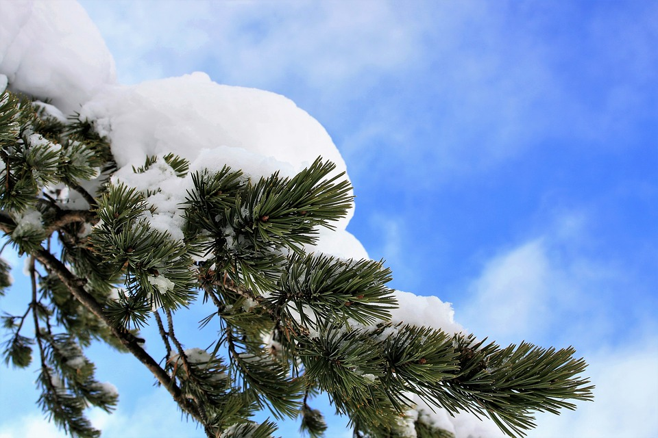 Winter, Christmas Tree, Pine, Snow, Landscape, Biel