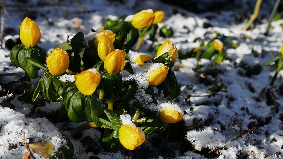Flower, Yellow Flowers, Season, Winter Linge, Snow