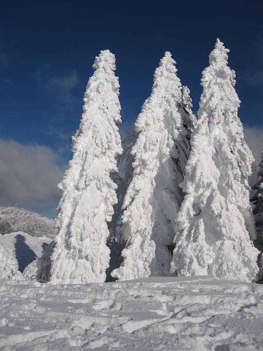 Firs, Snow, Winter, Snowy, Wintry, Winter Magic
