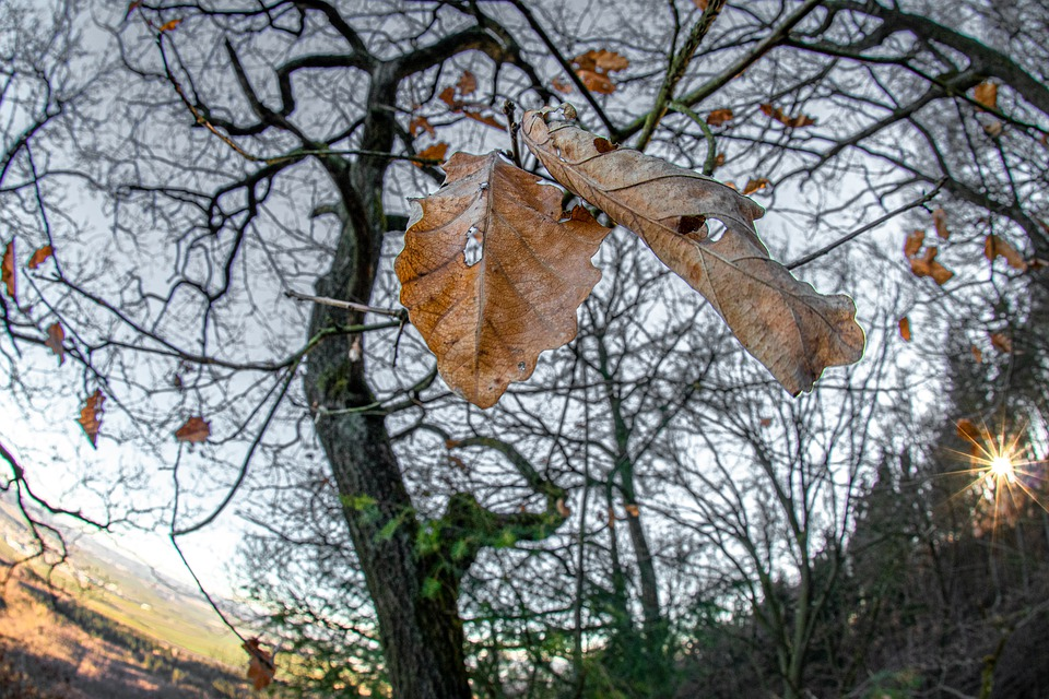 Nature, Autumn, Winter, Landscape, Oak, Oak Leaf, Dry